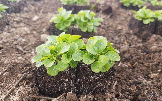 salat2_270218(c)bioschmuckbauer